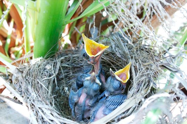 Oiseaux au nid Photo Premium