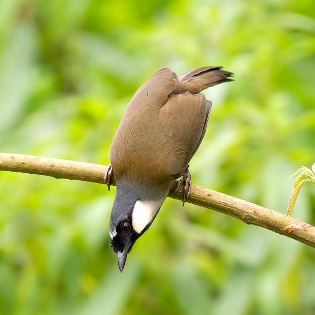 Oiseaux Lémiophiles à Gorge Noire (garrulax Chinensis) Photo Premium