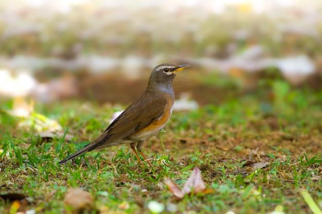 Oiseaux mignons dans la nature, grive à flancs gris: turdus feae Photo Premium