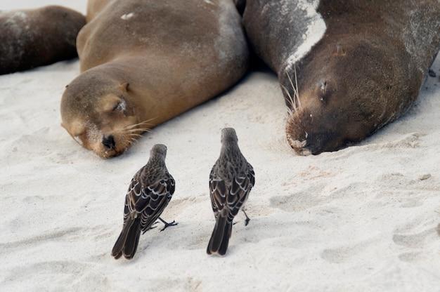 Oiseaux Moqueurs Des Galapagos (nesomimus Parvulus) Et Otaries Des Galapagos (zalophus Californianus Wollebacki), Baie De Gardner, île D'espanola, îles Galapagos, équateur Photo Premium