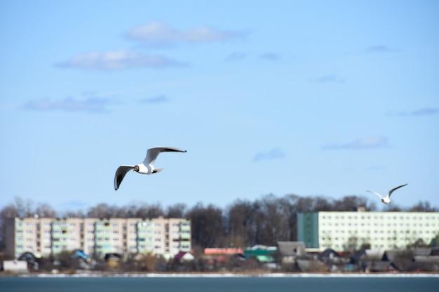 Les oiseaux de la mouette survolent l'eau du lac dans la ville sur le fond des maisons Photo Premium