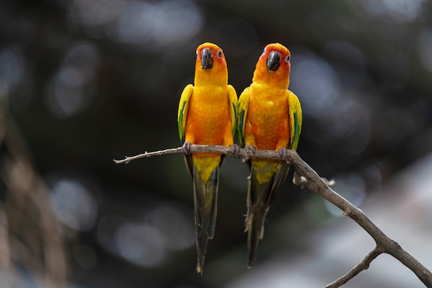Oiseaux perroquet beau soleil coloré conure Photo Premium