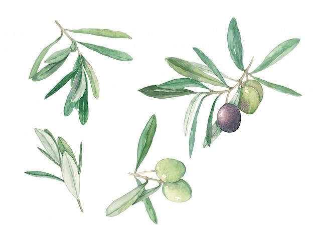 Olives de branche avec des fruits et feuilles mis illustration aquarelle Photo Premium