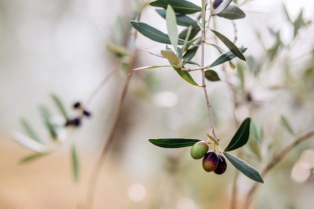Olives Sur Branche. Jardin D'oliviers, Champ D'oliviers Méditerranéen. Olives à Divers Stades De Maturation. Arrière-plan Flou. Photo Premium