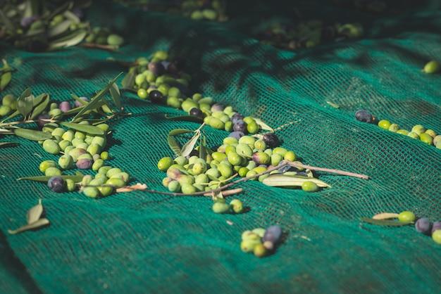 Olives fraîches vertes et noires sur le net. récolte en ligurie, italie, cultivar taggiasca ou caitellier. image tonique. Photo Premium