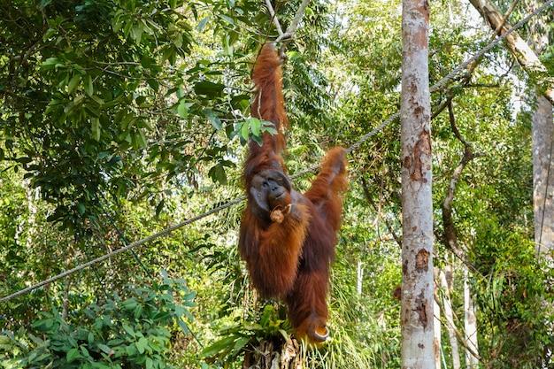 Orang-outan accroché à une branche Photo Premium