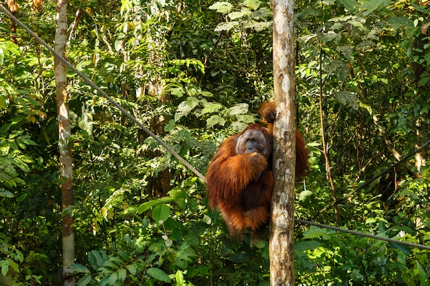 Orang-outan assis dans un arbre. Photo Premium