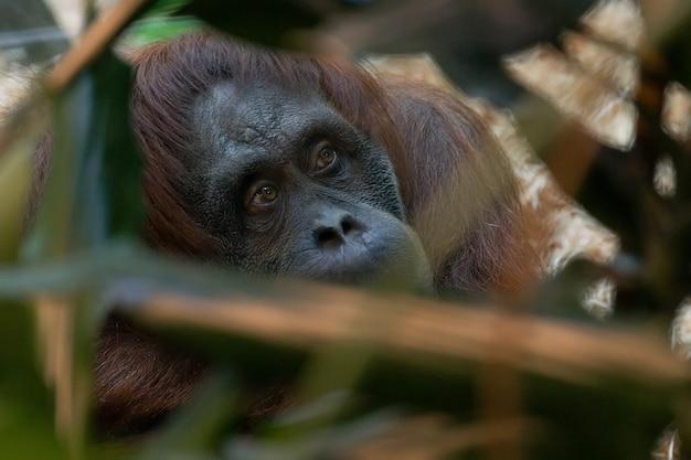 Orang-outan au zoo Photo Premium