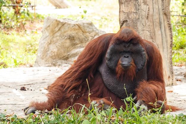 Orang-outan de bornéo (pongo pygmaeus) en thaïlande Photo Premium