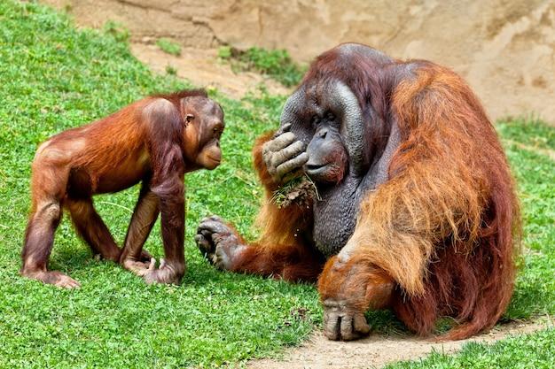 Orang-outan de bornéo, pongo pygmaeus Photo Premium