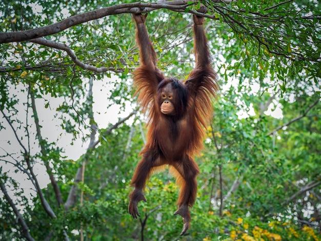 L'orang-outan joue sur l'arbre. Photo Premium