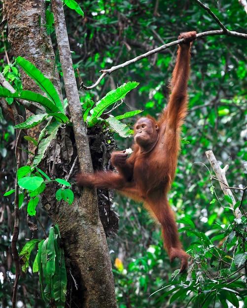 Orangutanf dans la forêt tropicale accrocher sur un arbre Photo Premium
