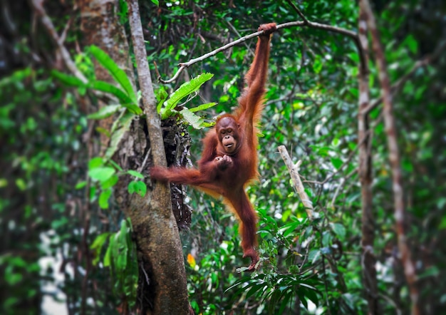 Orangutang en action dans le parc malaysia Photo Premium