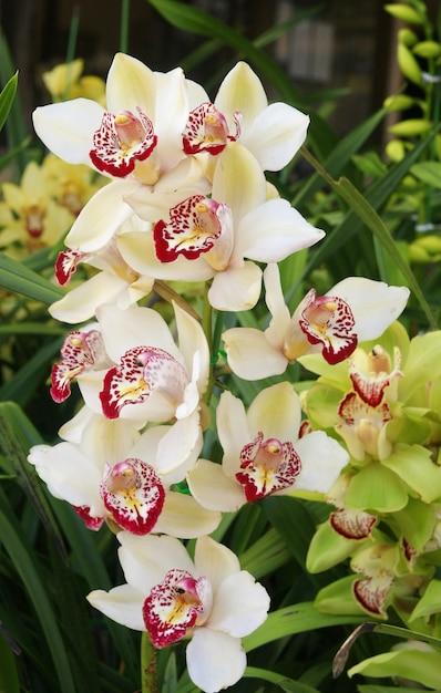 Orchidée, cymbidium Photo Premium