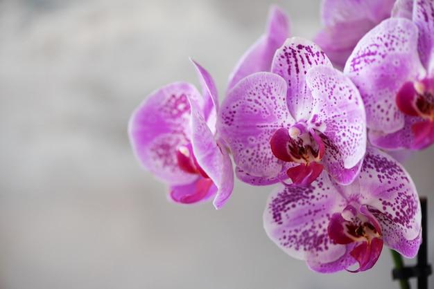 Orchidée violette sur fond de béton gris Photo Premium