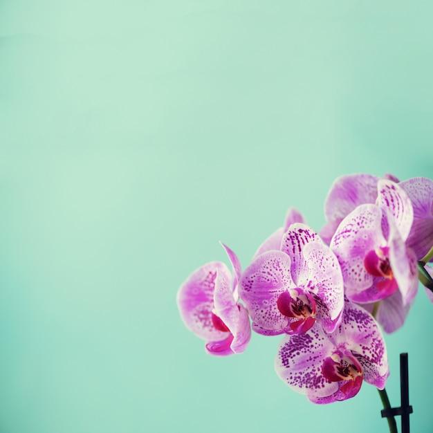 Orchidée violette sur fond bleu Photo Premium