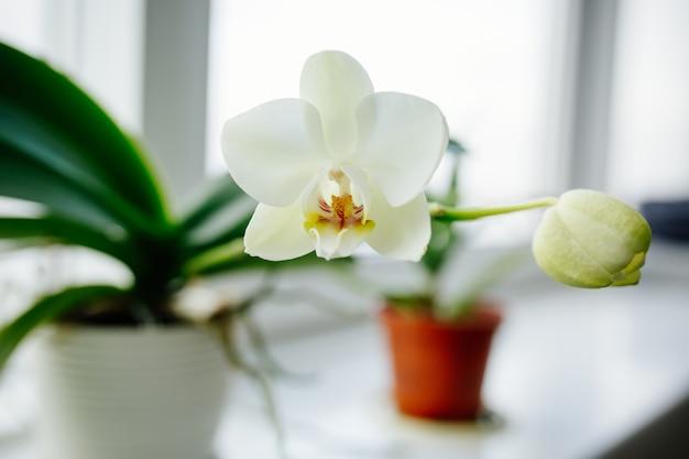 Orchidées en fleurs sur la fenêtre d'une maison confortable Photo Premium