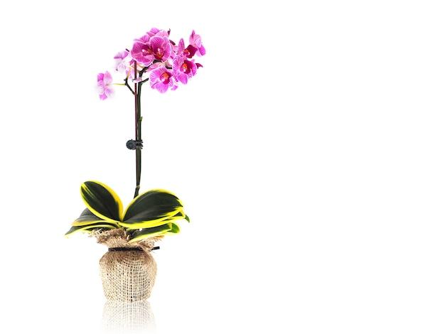 Orchidées Violettes En Pot De Fleurs Enveloppant Par Sac De Jute Photo Premium