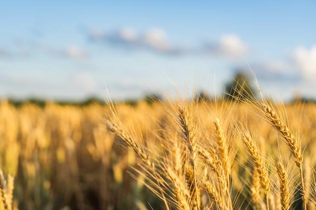 Oreilles de champ de blé golden wheat. récolte riche concept. Photo Premium