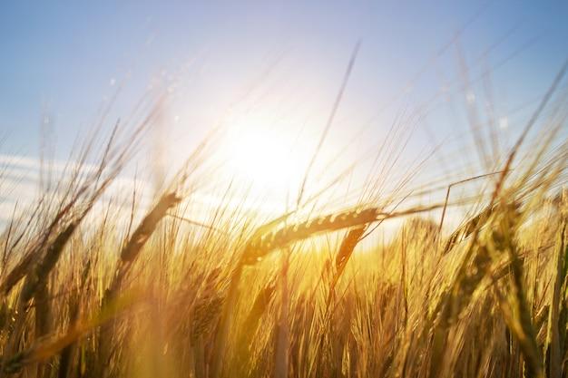 Oreilles de grain. de plus en plus dans le champ de blé Photo Premium
