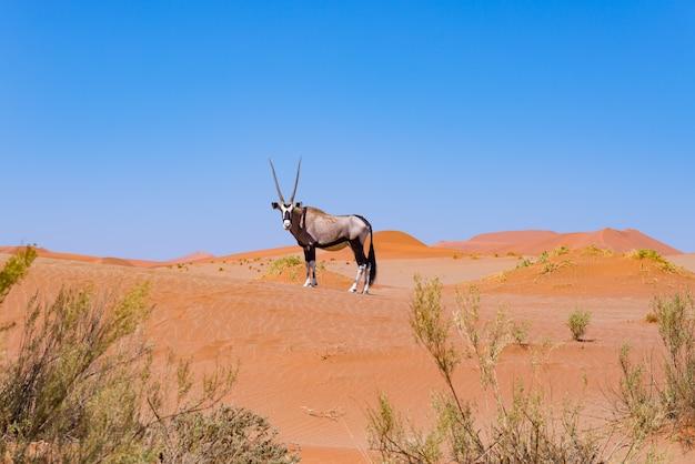 Oryx dans le désert coloré du namib, majestueux parc national du namib naukluft, meilleure destination de voyage en namibie, en afrique. Photo Premium