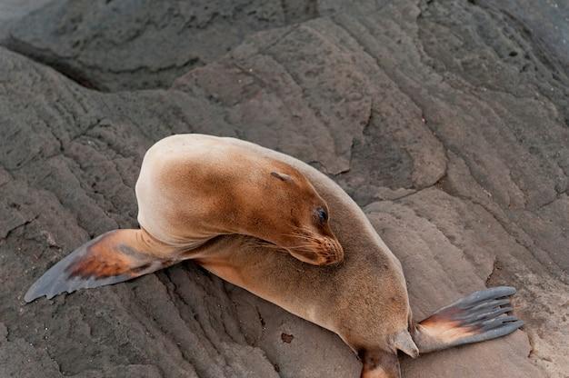 Otarie à Fourrure, Puerto Egas, île Santiago, îles Galapagos, équateur Photo Premium