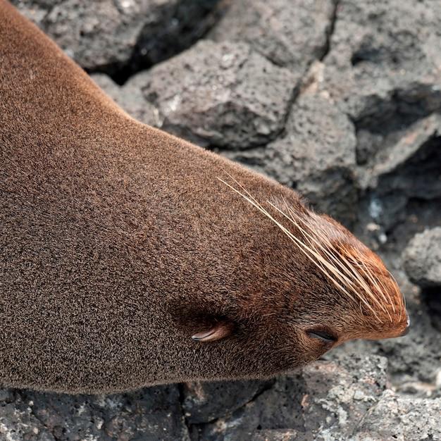 Otarie à Fourrure Sur Un Rocher, Puerto Egas, île Santiago, îles Galapagos, équateur Photo Premium