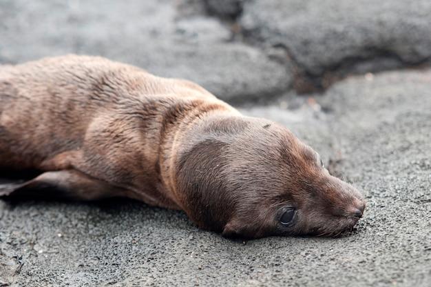Otarie à Fourrure Se Trouvant Sur Le Rocher, Puerto Egas, île De Santiago, îles Galapagos, équateur Photo Premium