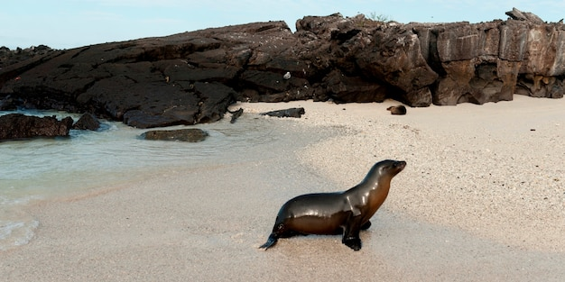 Otarie de galapagos (zalophus californianus wollebacki), île de genovesa, îles galapagos, équateur Photo Premium