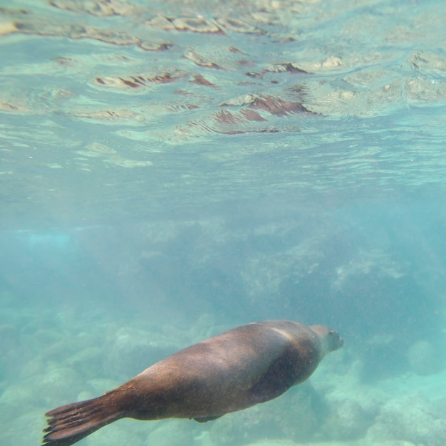 Otarie Des Galapagos (zalophus Californianus Wollebacki) Nageant Sous L'eau, île Bartolome, îles Galapagos, Equateur Photo Premium