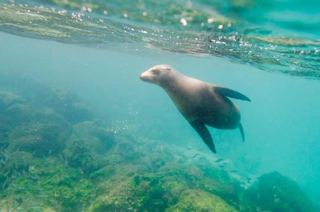 Otarie de galapagos (zalophus californianus wollebacki) nageant sous l'eau, île de san cristobal, îles galapagos, équateur Photo Premium
