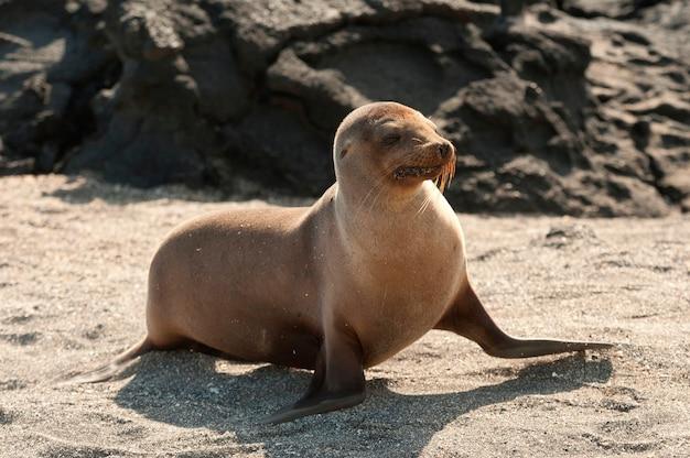 Otarie de galapagos (zalophus californianus wollebacki), punta espinoza, île fernandina, îles galapagos, équateur Photo Premium