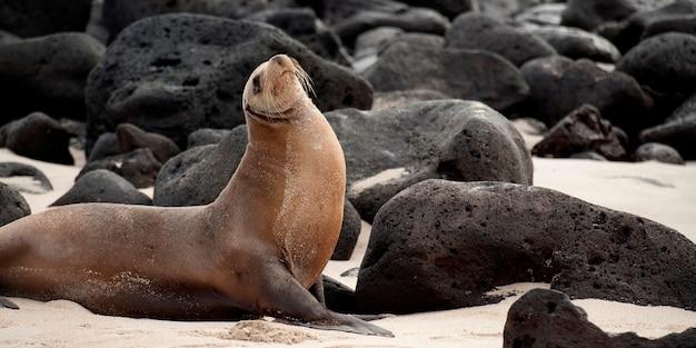 Otarie de galapagos (zalophus californianus wollebacki) avec des roches volcaniques, playa ochoa, île san cristobal, îles galapagos, équateur Photo Premium