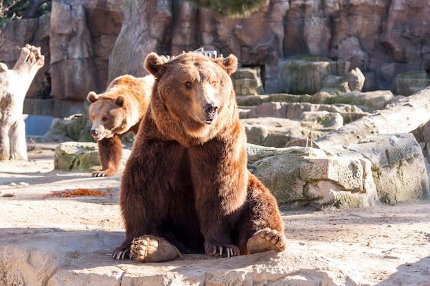 Ours brun assis sur un rocher Photo Premium