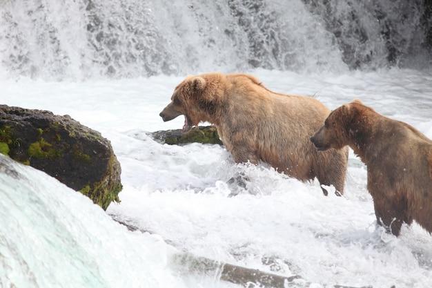 Ours Brun Attrapant Un Poisson Dans La Rivière En Alaska Photo gratuit