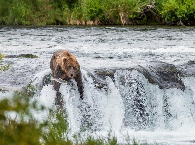 L'ours Brun Attrape Un Saumon Dans La Rivière Photo Premium