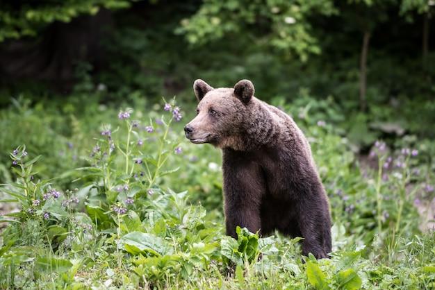 Ours brun au bord des bois. Photo Premium