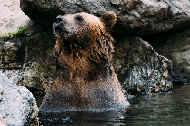 Ours brun au zoo du bronx. new york Photo Premium
