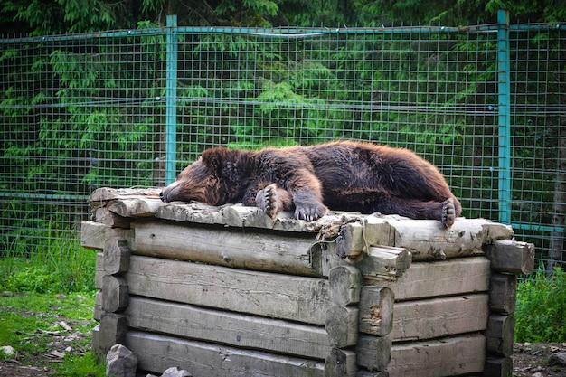 Ours brun dormant sur une boîte en bois Photo Premium