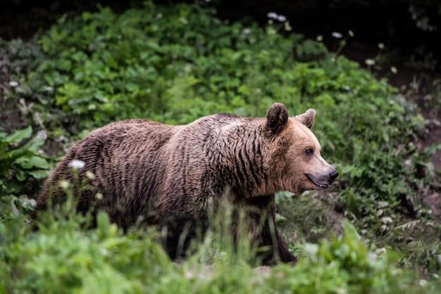 Ours brun à la lisière de la forêt. Photo Premium