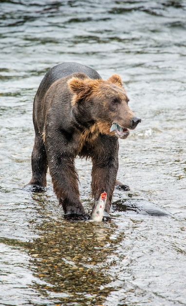 L'ours Brun Mange Du Saumon Dans La Rivière Photo Premium
