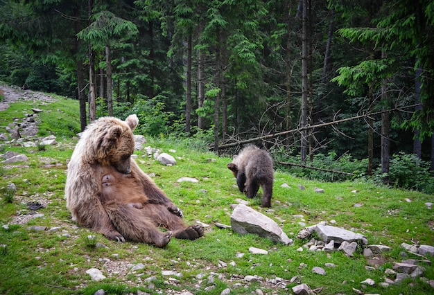 Ours brun mère et petit Photo Premium