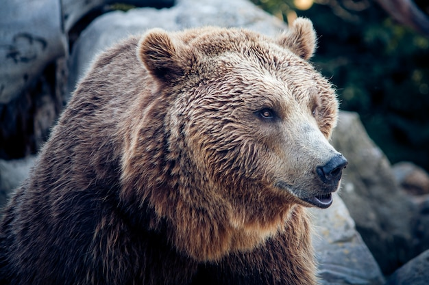 Un Ours Brun Sur La Nature Photo Premium