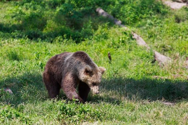 Ours brun avec paysage forestier Photo Premium