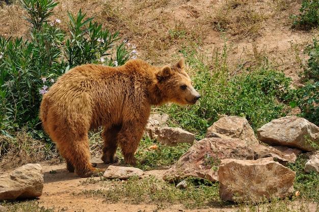 Ours brun à pied Photo Premium