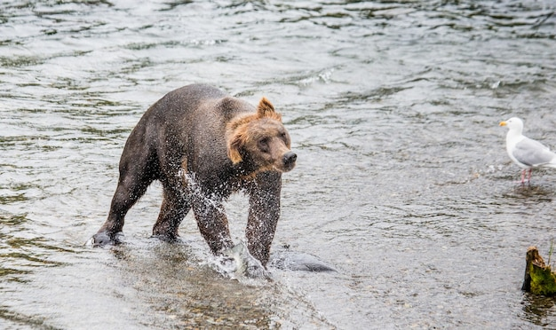 L'ours Brun Secoue L'eau Entouré D'éclaboussures Photo Premium