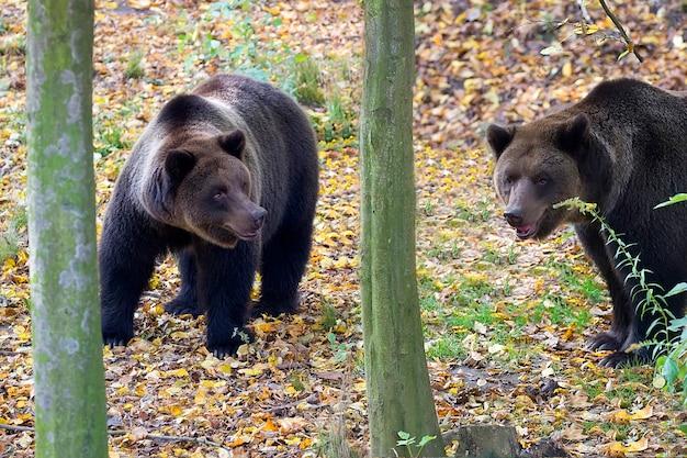 Ours bruns dans la forêt Photo Premium
