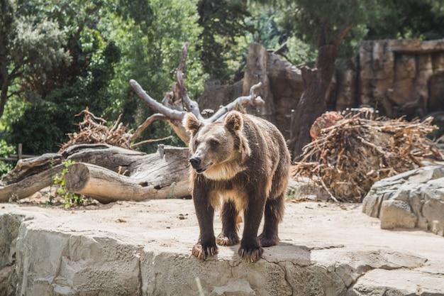 Ours européen mignon sur des pierres en attente de nourriture Photo Premium