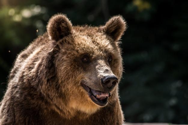 L'ours grizzli Photo Premium