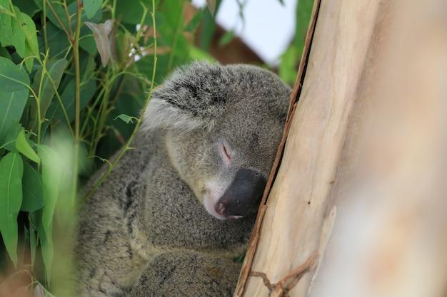 Ours koala dormir sur l'arbre. Photo Premium